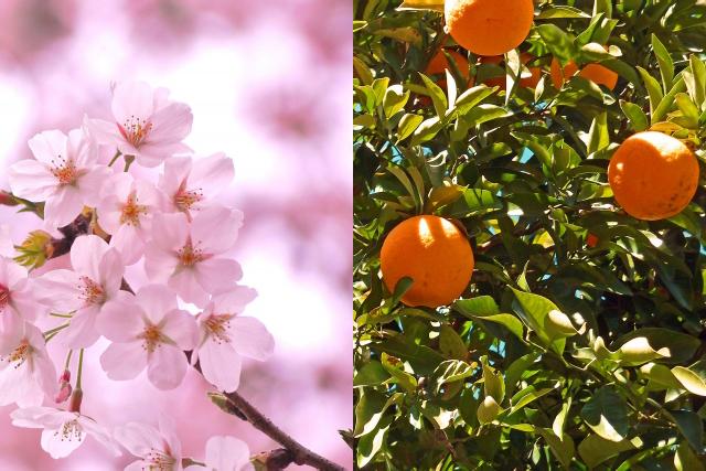 陰陽春秋桜橘